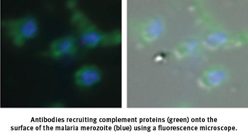 malaria breakthrough fluorescence microscope