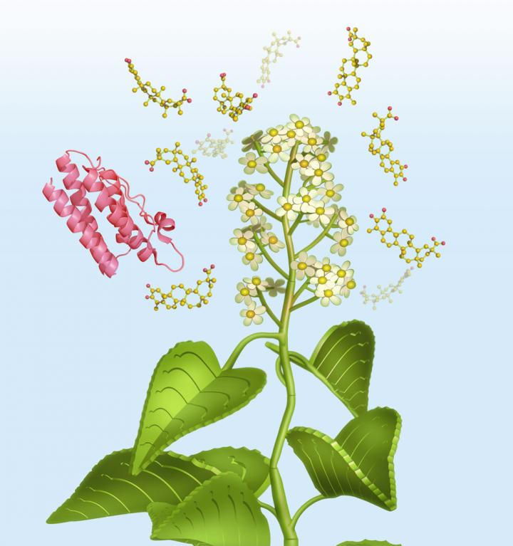 An artist's depiction of the thunder god vine and leptin molecule. CREDIT Eric Smith