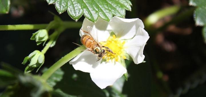 Honeybees in danger as UK Gov authorises pesticide use despite known risks