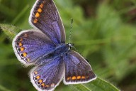 The Common Blue Butterfly header
