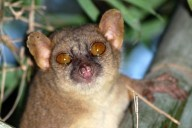 northern giant mouse lemur Mirza zaza