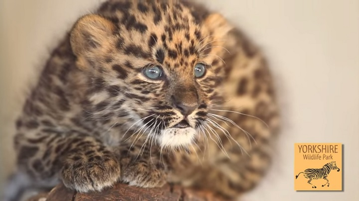 Amur Leopard at Yorkshire Wildlife Park gives birth to three cubs