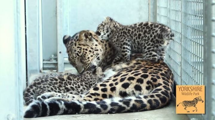 Amur Leopard Cubs at YWP