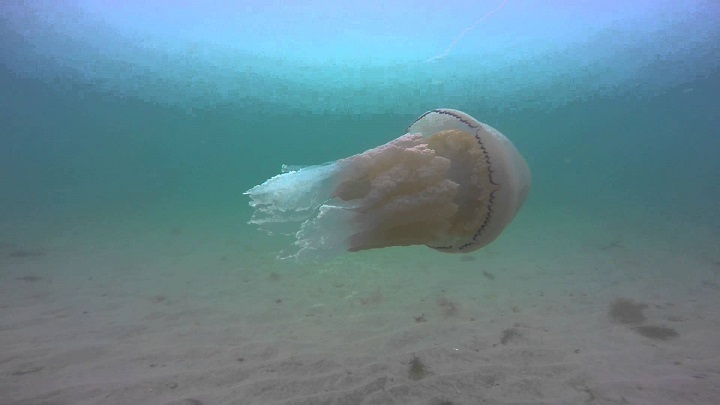 MCS UK: Rise of jellyfish in UK seas can no longer be ignored
