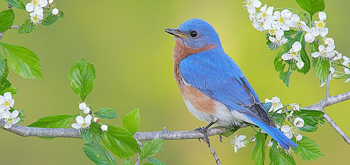Male bluebirds will shout to make themselves heard