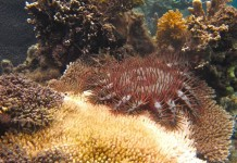 Seaweed protect corals from sea stars, study finds
