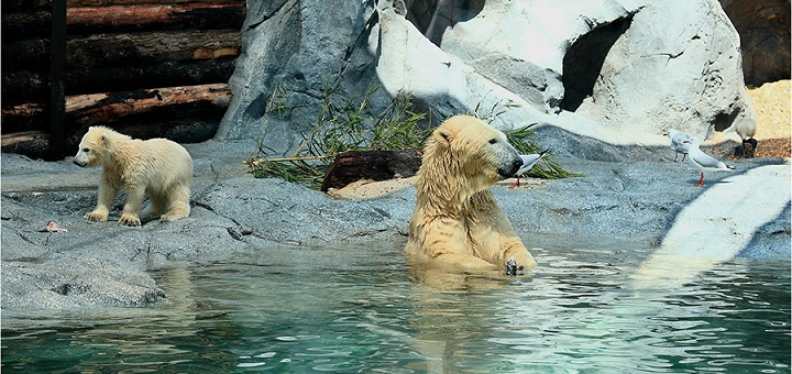 Sea World Australia: Bon voyage to Henry the polar bear