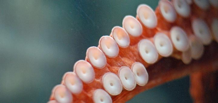 Octopus Tentacle closeup