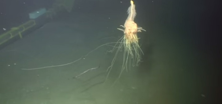Siphonophore nicknamed flying spaghetti monster captured on camera