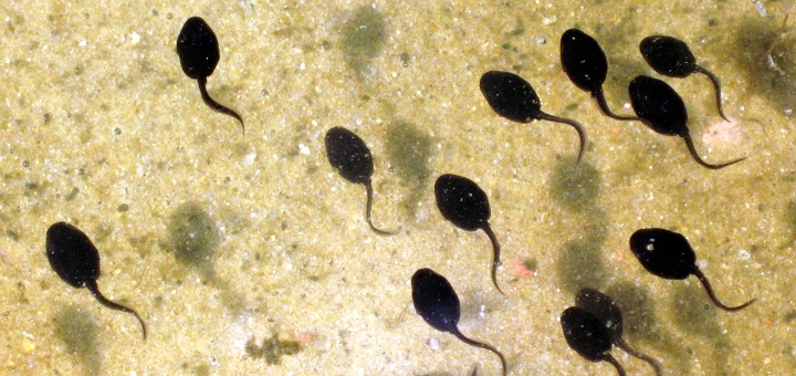 Tadpoles in danger; infectious disease found in a diverse range of frog populations