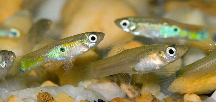 Female guppies being sexually harassed by their male counterparts