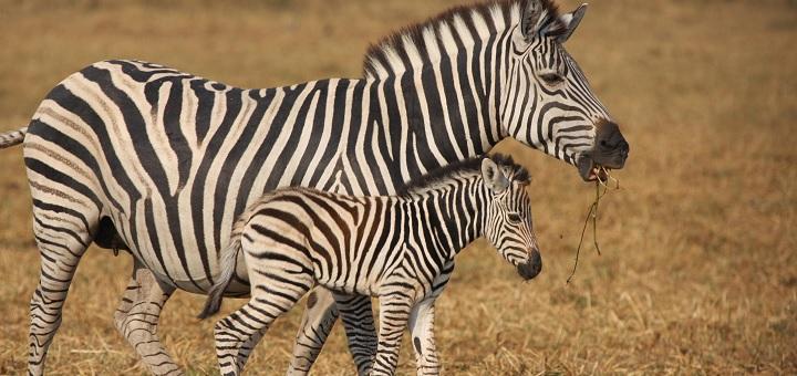 Zebra stripes ain't fooling any predator, study shows