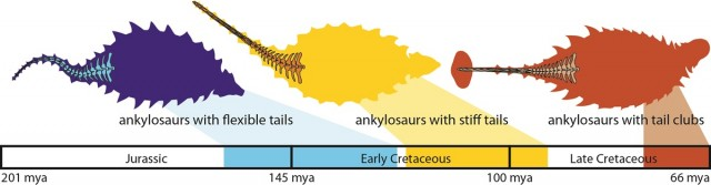 A timeline showing the steps in the evolution of ankylosaur tail clubs. Credit: Victoria Arbour