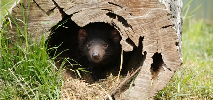 Scientists favour return of Tasmanian devils; say they will restore ecosystems