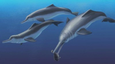 This is an artistic reconstruction of Isthminia panamensis, a new fossil dolphin from Panama, feeding on a flatfish. Many features of this new species appear similar to today's ocean dolphins, yet the new fossil species is more closely related to the living Amazon River dolphin. The fossils of Isthminia panamensis were collected from marine rocks that date to a time (around 6 million years ago) before the Isthmus of Panama formed and a productive Central American Seaway connected the Atlantic and Pacific oceans. Credit: Julia Molnar / Smithsonian Institution