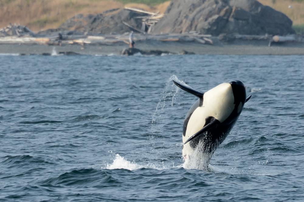 Southern Resident Killer Whale Female Yoda (K36) Breaches near San Juan Island