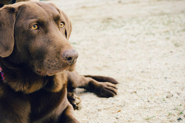 chocolate lab dog